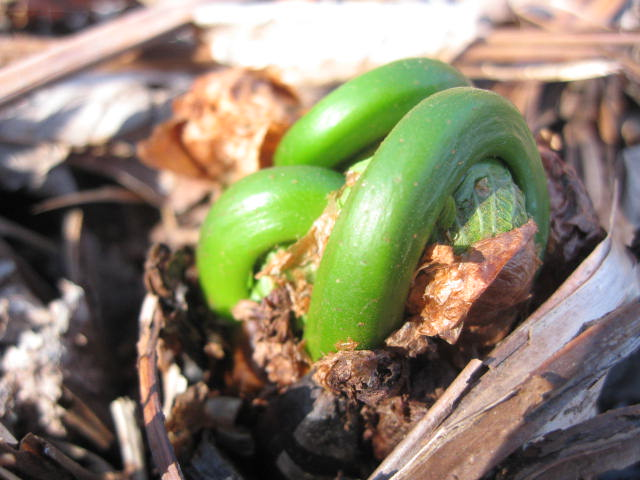 Young fiddlehead