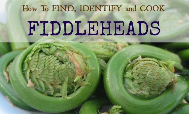 Fiddleheads are one of the first wild edibles of spring but last only a few weeks. Learn how to find, identify (pics included) and cook them.
