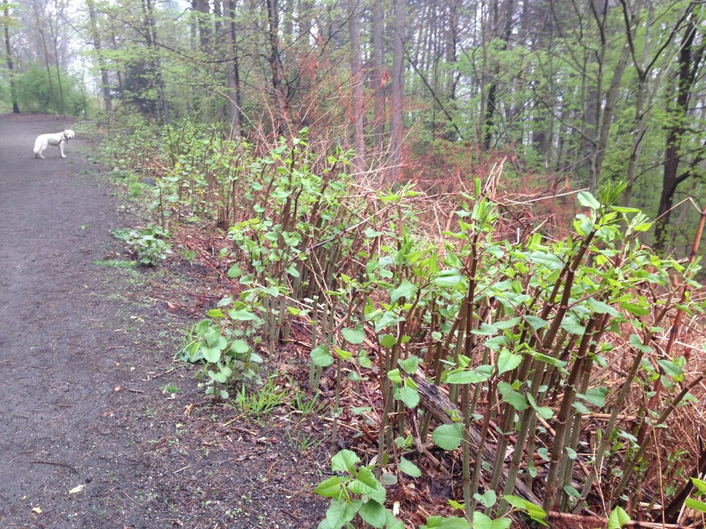 identify japanese knotweed along roads and trails