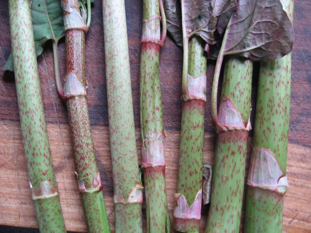 identify japanase knotweed by the coloring on the stalks