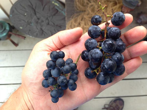 range of grapes sizes for concord grape soda
