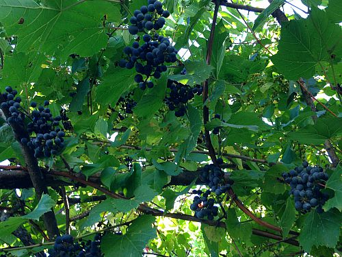 concord grapes growing wild