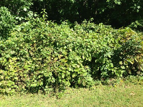 vine for concord grape soda