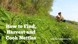 how to find, harvest and cook nettles