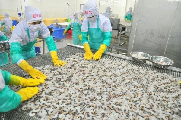 shrimp workers in Asia sorting shrimp