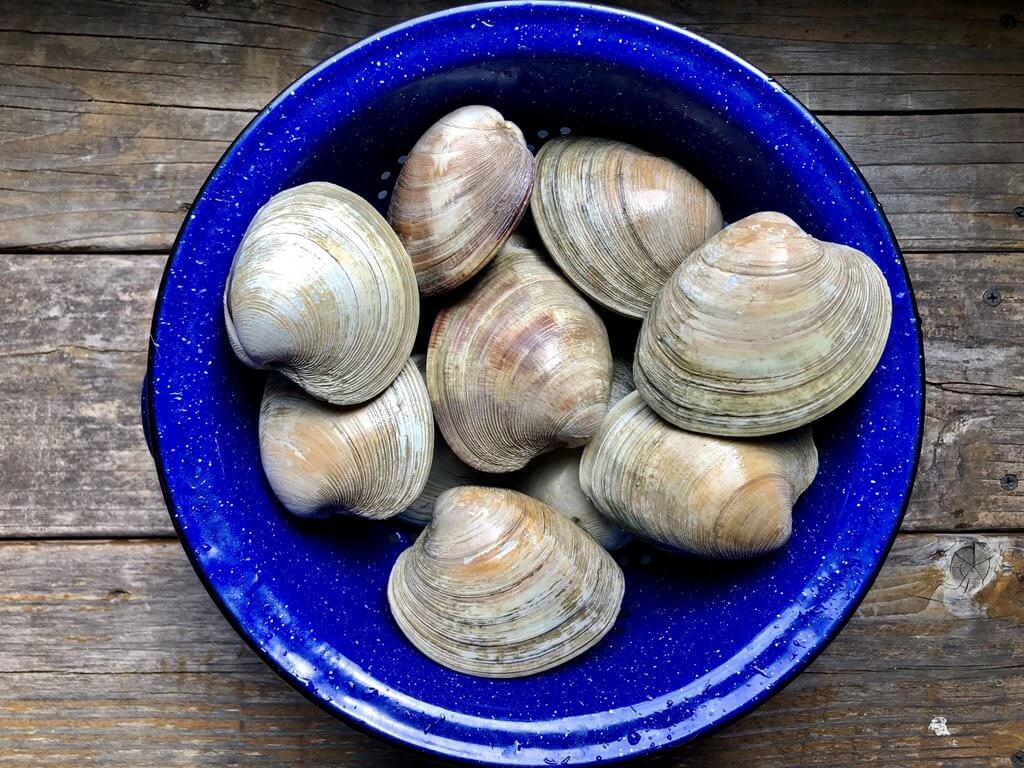 fresh whole quahog clams